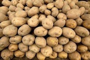 macam macam cerita  menanam kentang  dataran rendah