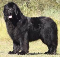 newfoundlands what s good about em what s bad about em