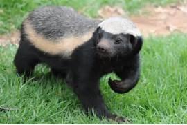 honey badger  Honey Badger Vs Mongoose