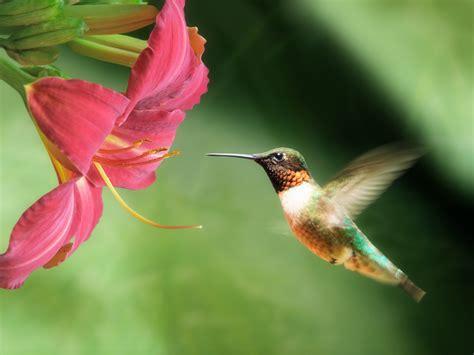 hummingbird flowers colorful hummingbirds wallpaper google search aquarius north node pinterest hummingbird
