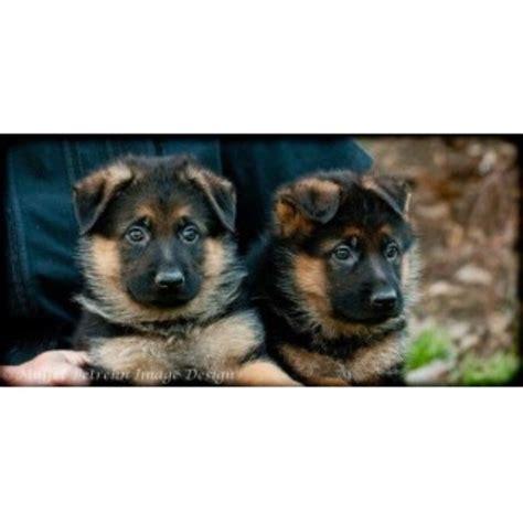 Parkseite German Shepherds German Shepherd Dog Breeder In