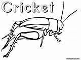 Cricket Coloring Insect Drawing Crickets Animal Colorings Getdrawings sketch template