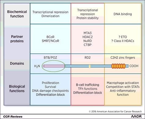 expanding role   bcl oncoprotein   cancer