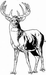 Elk Coloring Pages Young Colornimbus sketch template