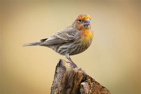 house finch pictures architectural designs