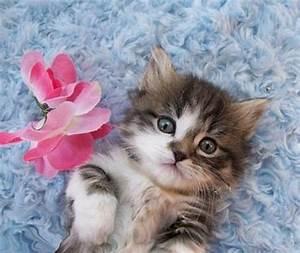 Munchkin Cat - image #2600218 by Maria_D on Favim.com