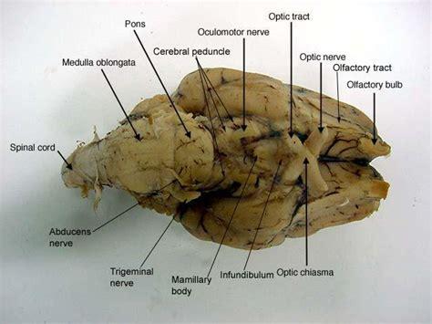 sheep brain anatomy ventral brain anatomy at lagrange college studyblue