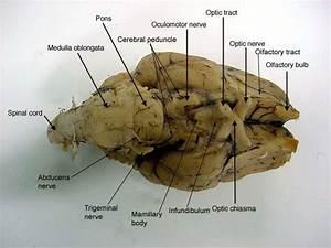 Brain - Biology 160 With Herman At Mesa College
