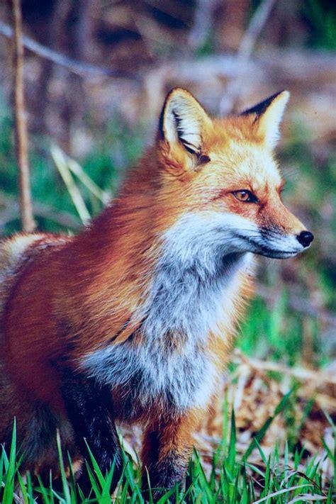 kostenloses foto natur tiere fuchs jaeger schlau