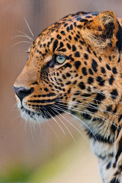 Best Images About Leopardo Las Nieves Pinterest