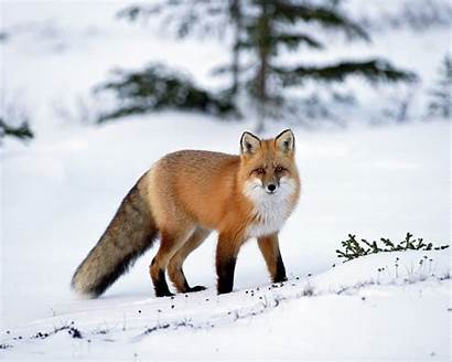 Animals Amazing Wallpapers Snow Fox Animal Awesome