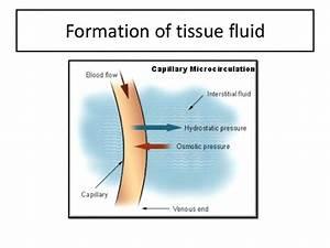 Tissue Fluid Formation  U0026 Edema Slideshare