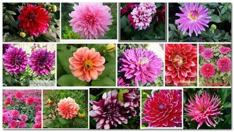 planting dahlias seeds in pots gardening seeds for sale view planting dahlias in pots