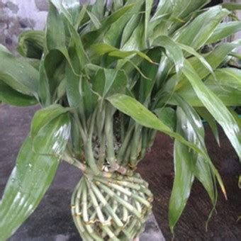 tanaman bambu hoki vas hijau bibitbungacom