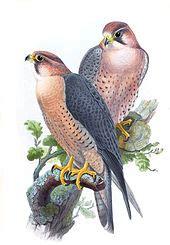 falco peregrinus wikipedia la enciclopedia libre