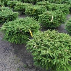 Landscaping Shrub Evergreen Bushes