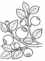 Blueberry Coloring Pages Berries Printable Template Mycoloring Fruits Recommended sketch template