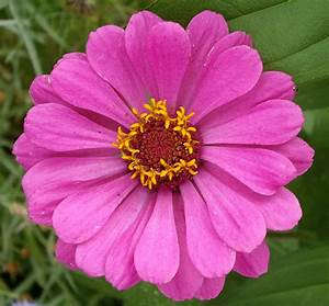 Images Of Zinnia Flower Golfclub