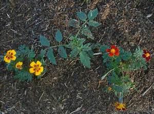 Planter Des Graines De Tomates : tomate planter des tomates jardinage bio ~ Dailycaller-alerts.com Idées de Décoration