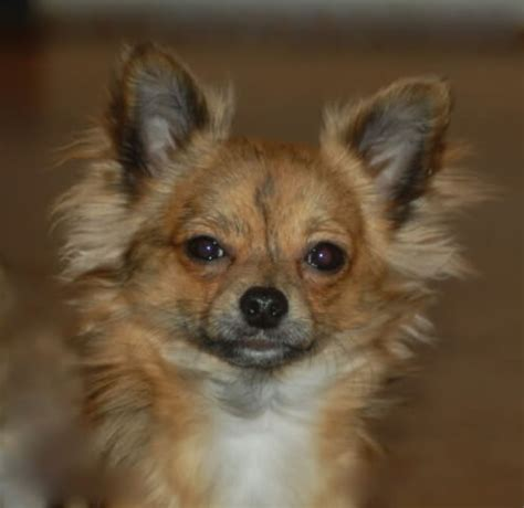 chihuahua dog breed information pictures
