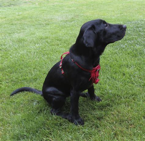 dog   day aiko   month  labrador retriever