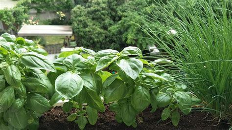 Garten Pflanzen Zeitpunkt by Basilikum Pflanzen Zeitpunkt Standort Und Die Richtige