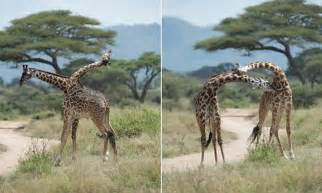 Giraffe looks like a two-headed beast in optical illusion ...