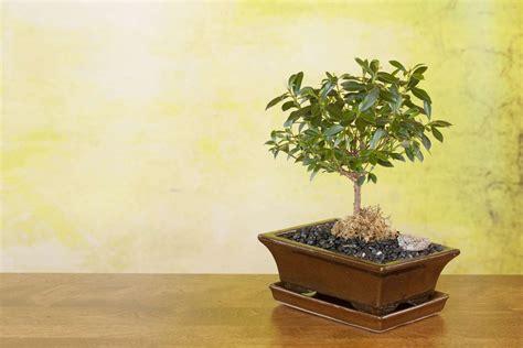 olivenbaum d 252 ngen expertentipps anleitung plantura