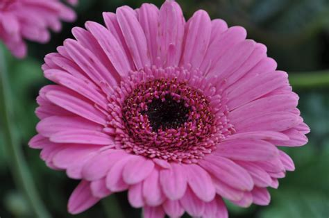 gerbera daisies flowers of malaysia gerbera daisy