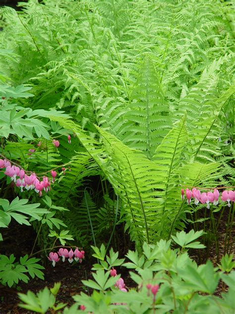 ferns for shade garden shade garden abrahamson nurseries