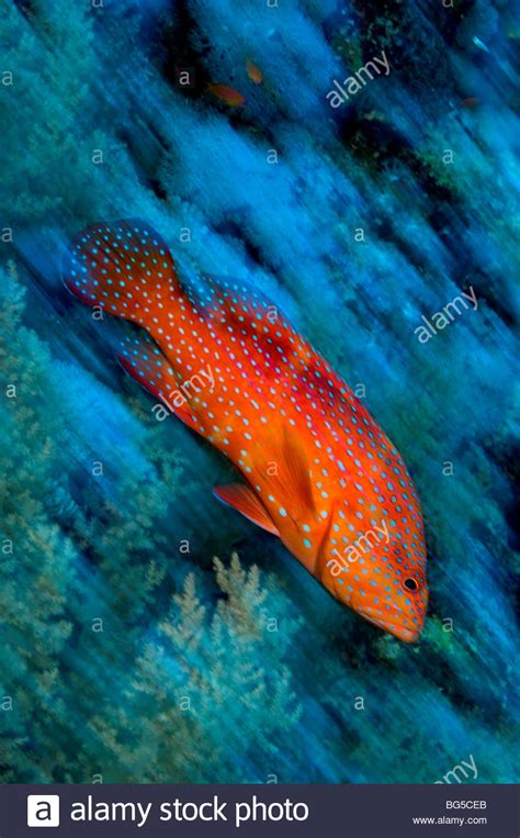sea coral ras reefs fish egypt grouper mohammed park national reef underwater alamy tropical shopping cart log