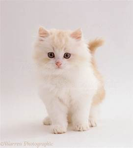 Pale ginger-and-white fluffy kitten photo WP19777