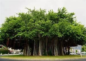 Les Plus Beaux Arbres Pour Le Jardin : les plus beaux arbres de france votez pour le banian du port ~ Premium-room.com Idées de Décoration