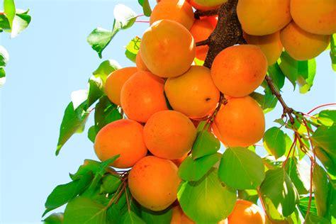Dwarf Tilton Apricot   PlantNet® Australia