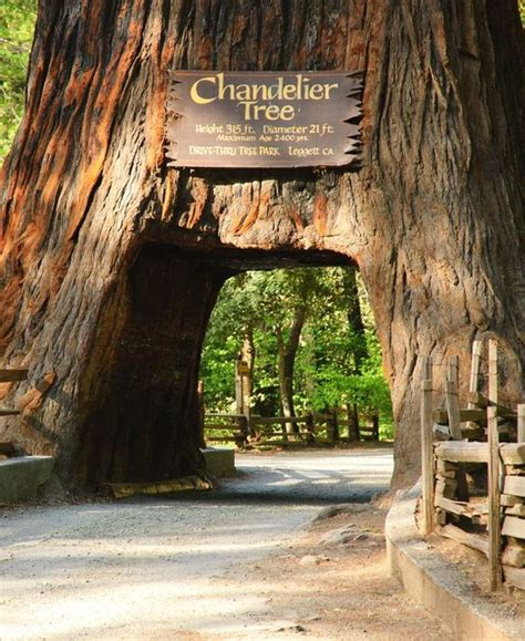 chandelier drive thru tree the chandelier trees and cars