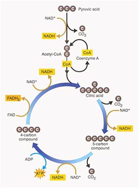 krebs cycle biology resource