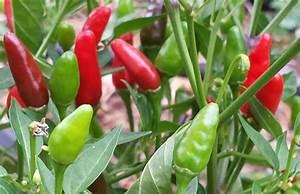 Zimbabwe Birds Eye Chili seeds (Capsicum Annum) VERY HOT ...