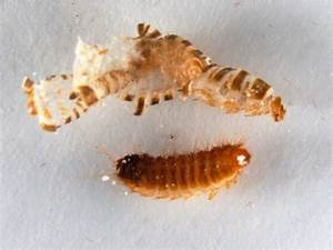 Carpet Beetle Extermination - Pest Control of Bed Bugs ...