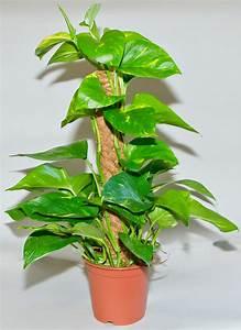 Zimmerpflanzen Für Schatten : scindapsus efeutute moosstab topfpflanzen ~ Michelbontemps.com Haus und Dekorationen