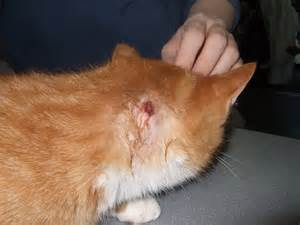 cat abscess cat fight related abscess abscesses lacerations skin