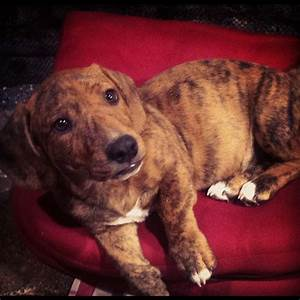 Pitbull dachshund mix | Dox-Bull | Pinterest | Pitbull ...