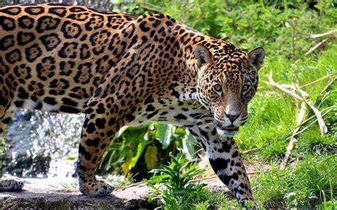 pictures jaguar cat big cat wallpapers wallpaper cave