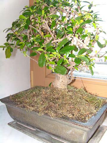 bonsai arten indoor top 10 zimmer bonsai f 252 r einsteiger
