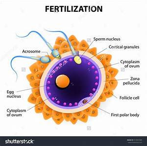 What is the process of sperm and egg combining called ...