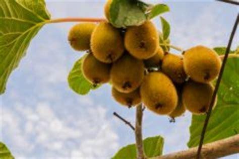 kiwibaum pflegen  gedeiht er bestens