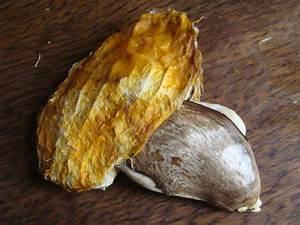 Planter Noyau Mangue : faire pousser un manguier pouce c pousse ~ Melissatoandfro.com Idées de Décoration
