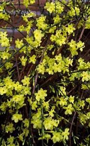 Jasmin Pflanze Pflege : winter jasmin jasminum nudiflorum garten pinterest pflege bl ten und gelb ~ Markanthonyermac.com Haus und Dekorationen