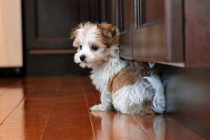 Morkie Puppy white and brown   Cute Puppies   Pinterest ...