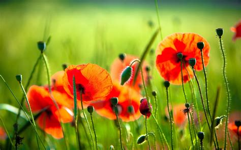 poppy flower photos red poppy wallpapers wallpaper cave