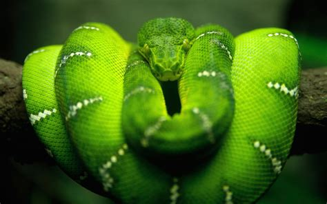 Snakes Wallpapers   Quotes Blogs